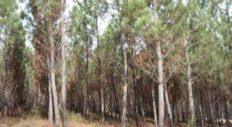 Terreno de Pinhal em Sameice